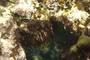 Poaceae -
