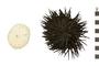 Image of Rock-boring Urchin