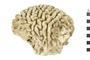 Image of Boulder Brain Coral