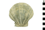 Image of Fossil Scallop