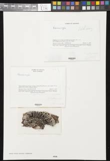 Image of Coccocarpia erythrocardia
