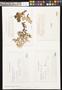 Pseudocyphellaria billardierei image