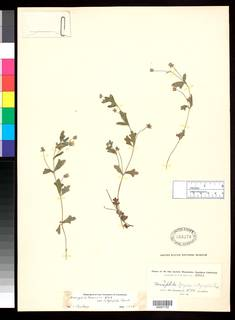 Nemophila menziesii var. integrifolia image