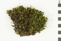 Image of Ohio Polytrichum Moss