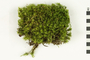 Image of Waxyleaf Moss