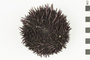 Image of Purpled-spined Sea Urchin