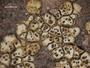 Acarospora chrysops image