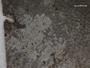 Actinoplaca strigulacea image
