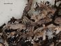 Anaptychia isidiophora image