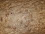 Anisomeridium nemorosum image