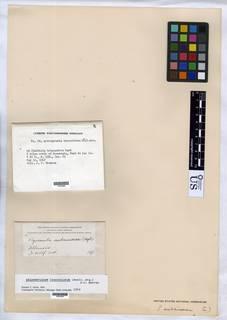 Anisomeridium leucochlorum image