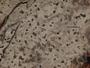 Arthonia platygraphidea image