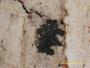 Arthonia patellulata image