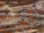 Arthopyrenia analepta image