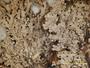 Heterodermia pseudospeciosa image