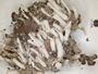 Cladonia borbonica image