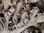 Cladonia atlantica image