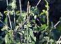 Amaranthaceae - Achyranthes aspera var. aspera