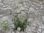 Amaranthaceae - Celosia argentea 'Cristata'