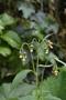 Asteraceae - Crassocephalum crepidioides