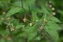 Asteraceae - Galinsoga quadriradiata