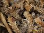 Gomphillus americanus image