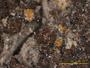 Endocarpon pusillum image