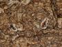 Fissurina insidiosa image