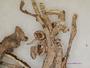 Hypotrachyna subgen. Everniastrum image