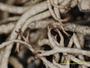 Cladonia subsetacea image