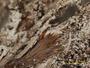Cladonia scholanderi image