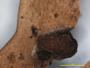 Lobaria insularis image