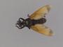 Prolepsis lucifer (Wiedemann, 1828)