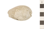 Image of Fossil Cowrie