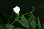 Acanthaceae - Thunbergia grandiflora 'Alba'