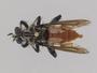Pilica formidolosa Walker, 1860