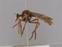 Chrysopogon albopunctatus Macquart, 1846