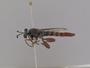 Miltinus stenogaster Westwood, 1841