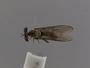 Holcocephala calva Loew, 1872