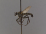 Lasiopogon monticola Melander, 1923