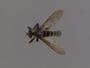 Lasiopogon aldrichii Melander, 1923