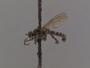 Lasiopogon oklahomensis Cole & Wilcox, 1938