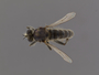 Lasiopogon actius Melander, 1923