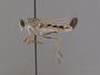 Apiocera (Pyrocera) melanura Cazier, 1941