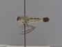 Apiocera (Pyrocera) clavator Painter, 1936
