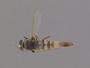 Apiocera (Pyrocera) caloris Painter, 1936