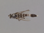 Apiocera (Ripidosyrma) braunsi Melander, 1907