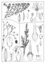 Caryophyllaceae - Polycarpon tetraphyllum