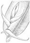 Heliconiaceae - Heliconia bihai