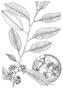 Myrtaceae - Eucalyptus robusta